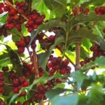 Coffee from Brasil 2